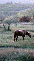 horse at dusk, Villa Rignana, Chianti. P1140077 (mansionmedia simon knight) Tags: horses italy horse holiday landscape wine tuscany villa chianti firenze siena toscana greve quarterhorse rignana simonknight mansionmedia villarignana شيانتي