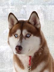 P3060667_2 (huskiilove) Tags: camera portrait dog animal puppy photography photo husky olympus e300 alive siberian creature bestfriend