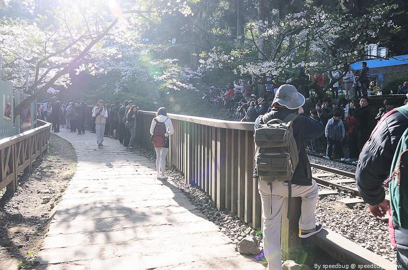 阿里山櫻花季43
