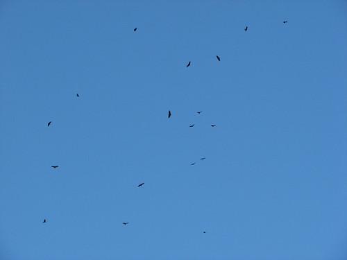 Kettling vultures