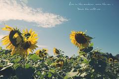Sunflower Heaven (mycuteladybug) Tags: fall sunshine festival sunflowers fields blueskies
