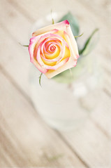 Rose in a Vase (Kris Oneal Photography) Tags: flowers flower texture water rose warm case creativecommons stockphotos vase welcome inviting singlerose