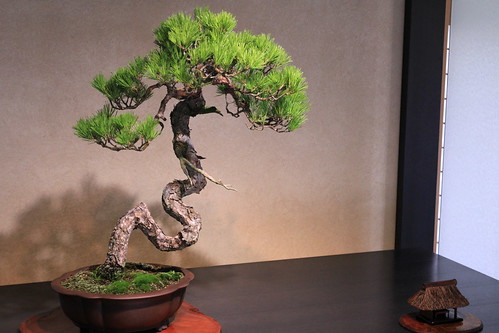 赤松 Red Pine - 盆栽美術館 - bonsai museum