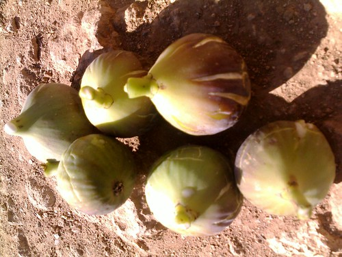 Figues تين
