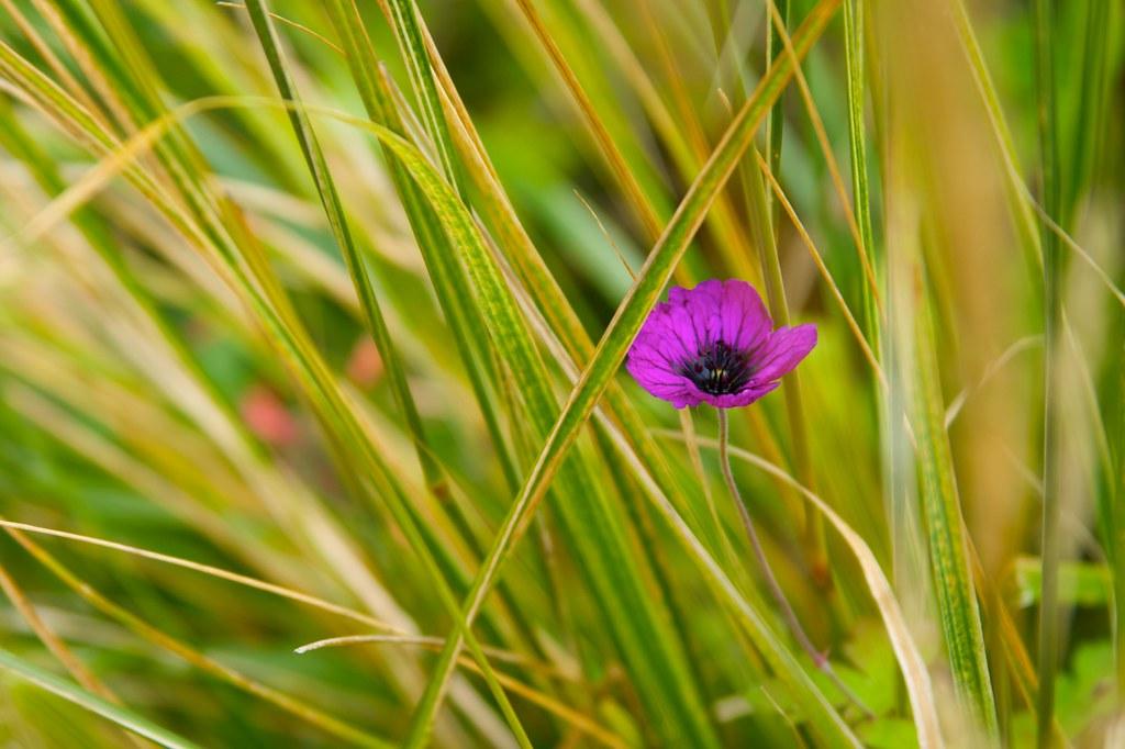 geranium ann folkard  648
