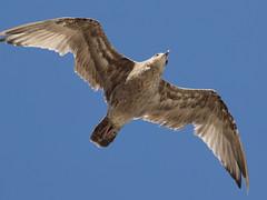 Herring Gull (Larus Argentatus) (MDLPhotoz) Tags: usa geotagged newjersey unitedstates gull sigma atlanticcity herring larus 50500mm argentatus f463 ex50500mmf463apodghsm geo:lat=3935161391 geo:lon=7444570966