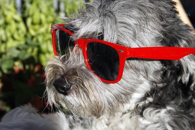 immagine di buon lunedi' con foto cane divertente con occhiali da sole