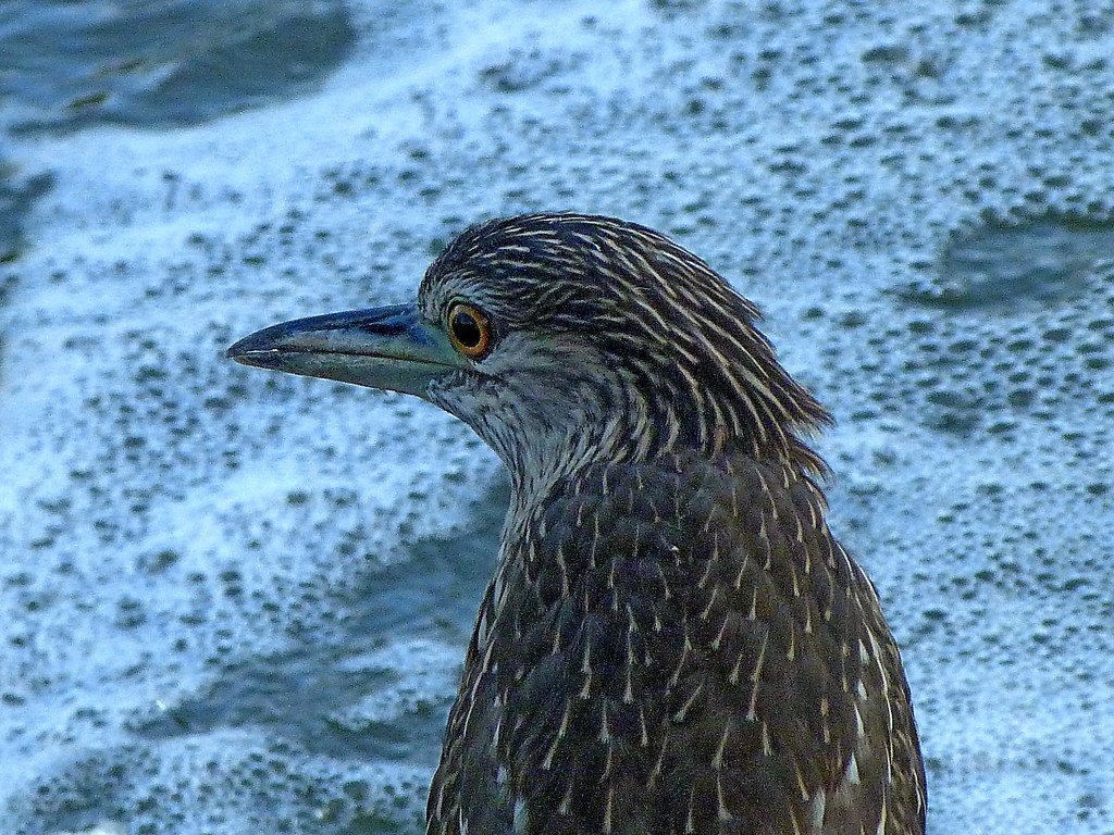 15-10-2011-baby-black-crowned-night-heron