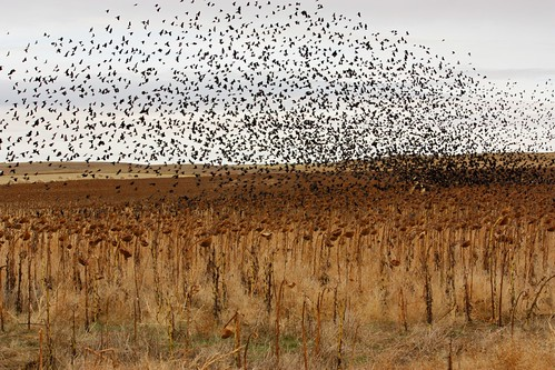 Red Wing Blackbirds over a sunflower field