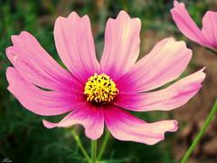 Flowers Life (Mari Rasti) Tags: life new pink flower green love nature beautiful iran god zoom fresh gift shiraz sonyh50 marirasti