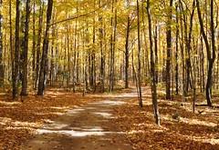 Golden Trail (CaptPiper) Tags: autumn trees fall october michigan