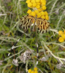 IMG_1558 (gdasko) Tags: mountain insects greece wildflowers ymittos
