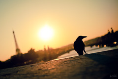 Maître Corbeau à Paname (Marc Benslahdine) Tags: sunset paris seine soleil toureiffel oiseau lightroom pontalexandreiii corbeau pontdelaconcorde traitement canonef50mmf18ii canoneos5dmkii ©marcbenslahdine marcopixcom