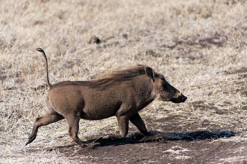 Warthoggin' along (with tail raised for ease of following)