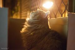 DSC_2474 (FatCat) Tags: cat nikon chinchilla taipei     d700 aiafnikkor35mmf2d