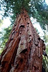 Wow tall tree (crocus08) Tags: sequoia
