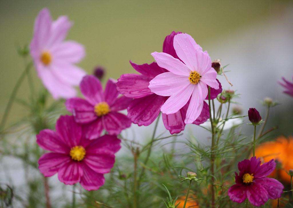 Cosmos flowers in Nakanoshima koen