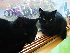 Plotting, Interrupted (indigo_jones) Tags: cats pets holland green netherlands fur utrecht lola nederland luna heater zwart plotting blackcats