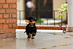 Hot dog thief... (Pablin79) Tags: dog pet digital canon fun eos hotdog reflex dof bokeh run dachshund perro 5d homero mascota pipa markii 70200mm wirehair reflecion 2011 salchicha bokah bookeh canonef70200mmf4lisusm canoneos5dmarkii 5dmkii pabloreinsch pabloreinschphotography pablin79
