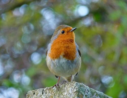 無料写真素材, 動物 , 鳥類, ヨーロッパコマドリ・ロビン