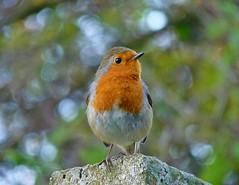 [フリー画像素材] 動物 2, 鳥類, ヨーロッパコマドリ・ロビン ID:201111100200