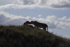 AS-TZ-Safari_239 (angsolis) Tags: africa safari ngorongoro leopard lions cheetah elephants serengeti tarangire