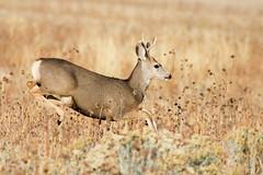 Young Muley Buck (m_Summers) Tags: fall nature utah northernutah wildlife young running deer buck muledeer muley canon60d antalopeisland canon400f56
