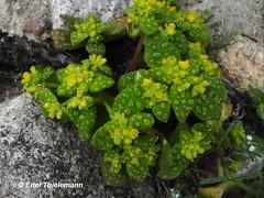 Tetragonia maritima (Chilebosque) Tags: maritima arbustos aizoaceae tetragonia tetragoniamaritima aguanosa