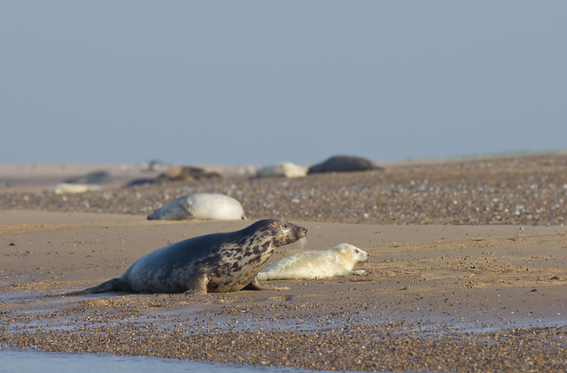 blakeney grey seals on beach