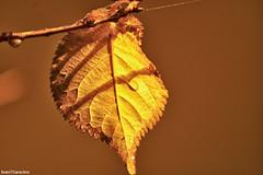 The last sad leaf (Ivan Saracino) Tags: autumn fall nature leaf nikon ivan natura foglia 70300mm mapping autunno tone hdr saracino osarracino ivansaracino