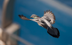 Pigeon gliding (San Diego Shooter) Tags: bird birds rose for cool sandiego pigeon cool2 flyingpigeon cool5 cool3 cool6 cool4 pigeoninflight cool7 cool8 iceboxcool unanicool
