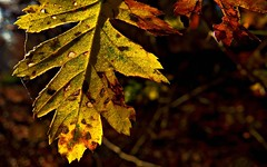 Leaf in late autumn (KF-Photo) Tags: autumn herbst schnbuch herbstblatt kirchentellinsfurt kelternweg