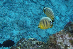 Snorkelling at Aka Island (grigorsimeonov) Tags: underwater snorkelling oval akajima butterflyfish  lx5 10bar kerama
