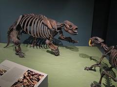 Paramylodon harlani vs. Smilodon californicus (FranMoff) Tags: museum cat skeleton washingtondc smithsonian naturalhistory prehistoric smilodon sabertoothed paramylodon harlani
