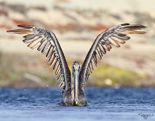Brown Pelican Showing Off Its Wingspan
