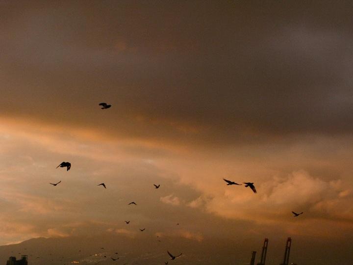 vancouver crow migration 003