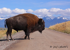 Montana Stop Sign (Walk in the Woods Photography) Tags: bison
