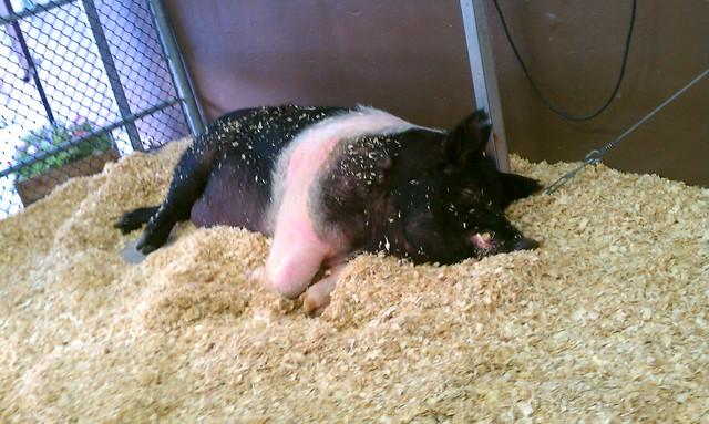 Award Winning Pig