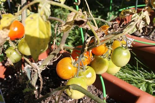 Ripening Tomatoes 2