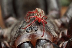 spider whisperer      trapdoor spider & predatory mite (FISHNROBO) Tags: red black colour macro green nature closeup insect newcastle fun spider bush natural native wildlife australia cannon robo fishnrobo