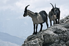 Mountain Goats (Thumbnail)