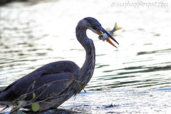 Blue Heron Catching Fish (SnapHappyExpat) Tags: blue fish toronto heron island fishing catching catch catches pike lakeontario northern torontoislands