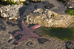 Coast Trip 2011 — 270 (ntisocl) Tags: vacation seaweed beach water oregon starfish roadtrip pacificocean oregoncoast lowtide cannonbeach haystackrock tidepools seaanemone 2011 canonef70200f28lisusm canon1dmarkiii