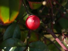 Nandina domestica (5) (k_listman) Tags: nandinadomestica heavenlybamboo