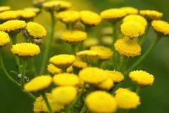 Fancy Tansy (Jaedde & Sis) Tags: wild flower green yellow tansy bigmomma challengeyouwinner a3b rejnfan guldknap storybookwinner pregamesweepwinner