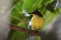 IMG_0201 (sahana2802) Tags: nature urbanwildlife sunbird purplerumped