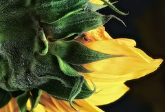 SUNFLOWER (Terp's ~ R. Terpolilli) Tags: flowers plants flower color nature blackbackground flora florida stuart yellowflower sunflowers sunflower blooms lighttent eastcoast flowerpetals macrophotography floridaflowers coth offcameraflash supershot photographingflowers yellowandgreenflower nikonsb900flash nikkor105mmmacrolens photographsofflowers