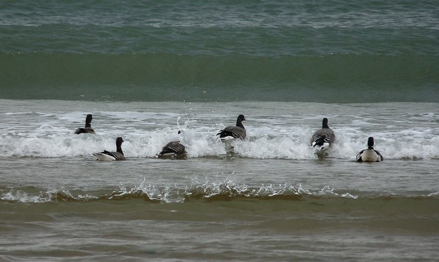 25237 - Brent Geese, Broughton Bay