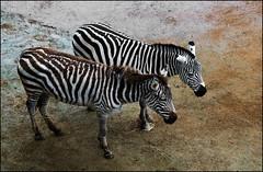 Auckland Zoo - Zebras