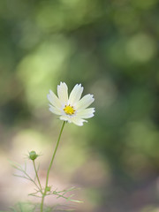 Cosmos (Polotaro) Tags: flower nature pen olympus   zuiko cosmos ep1    gzuiko50mmf14